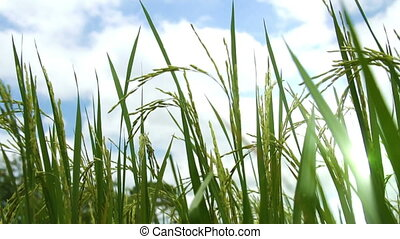 Paddy Field against cloudy blue sky.