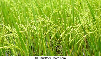 Paddy Field - Green Paddy Field against the wind