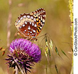 Fritillary - Great Spangled Fritillary (Speyeria cybele)...