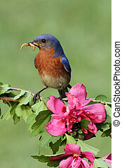 Eastern Bluebird - Male Eastern Bluebird (Sialia sialis)...