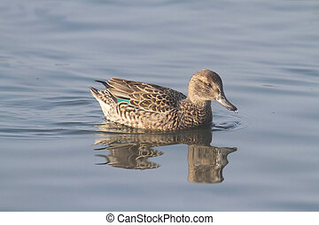 Female Green-winged Teal (anas crecca) swimming in blue...