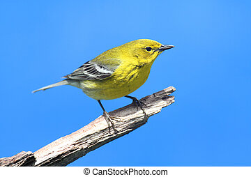 Pine Warbler Dendroica Setophaga pinus on a branch in early...