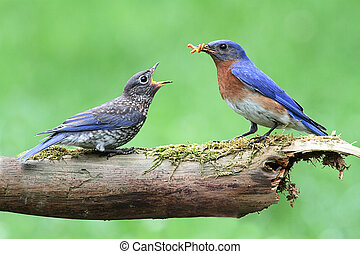 Male Eastern Bluebird With Baby - Male Eastern Bluebird...