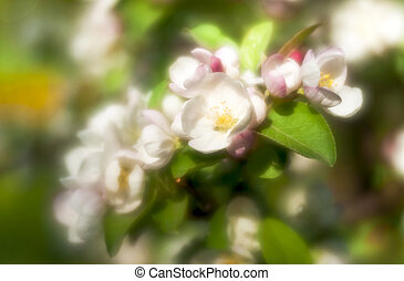 Apple-tree blossoming branch