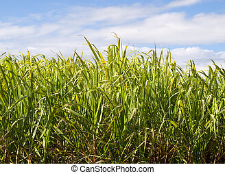 Sugar cane plantation closeup used in biofuel ethanol -...
