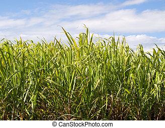 azúcar, bastón, plantación, Primer...