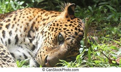 leopard, dream