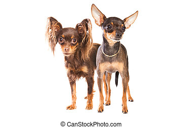 Two toy terriers isolated on a white