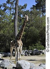 Giraffe, Beilage,  zoo