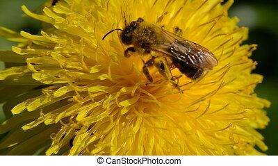 bee and dandelion flower