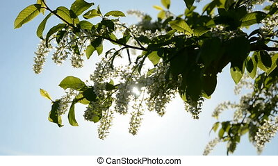 bird cherry branch blossoming and sunlight