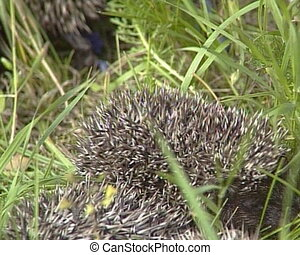 hedgehogs family grass - hedgehogs family walks between high...