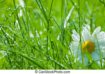 One chamomile in the grass