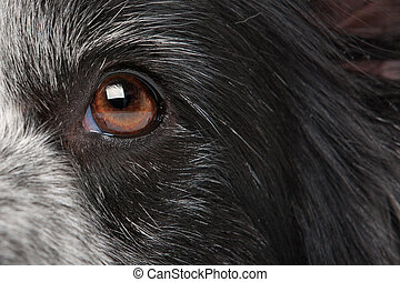 close-up dog eye - close-up eye from a border collie dog