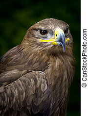 steppe eagle Aquila nipalensis - close-up of a steppe eagle...