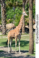 Giraffe at a wildlife reserve on the eastcoast of Florida,...