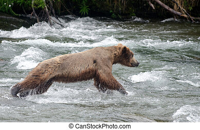Large Brown Bear fishing for salmon in a river - A large...