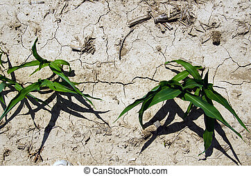 Drought conditions in Illinois corn field - Dry ground and...