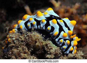 Varicose Wart Slug Phyllidia Varicosa, Lembeh Strait,...
