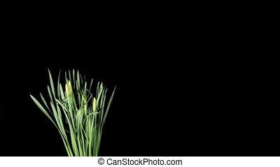 White narcissus blossom on the black background timelapse