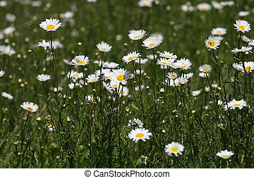 Ox-eye Daisy flower - Ox-Eyed Daisy flower in field in early...