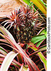 Colorful pineapple plant   - Colorful pineapple plant