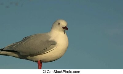 Red Billed gull - Dunedin,New Zealand, May 2012. Close up of...