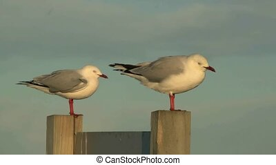 Red Billed gulls on post