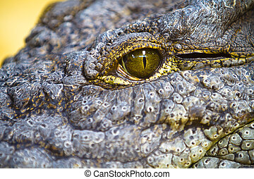 dangerous alligator eye detail