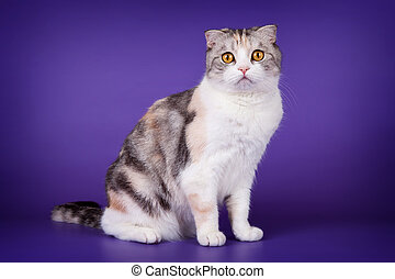 Scottish fold on purple background