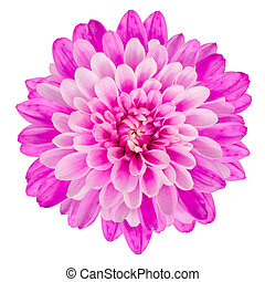 Pink Chrysanthemum Flower Isolated on White Background Macro...