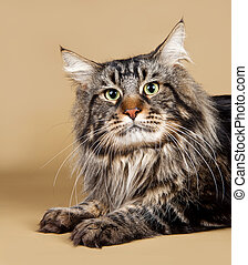 Maine coon on brown background