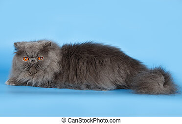 Persian cat on blue background