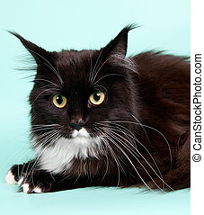 Maine coon head on green background