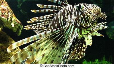 Dangerous Lion fish