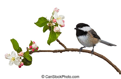 Apple Blossom Chickadee - Among the flowering blossoms of an...
