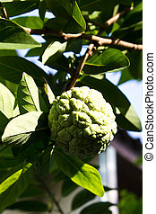 Custard apples or Sugar apples or Annona squamosa Linn...