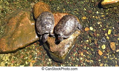 pair of turtles resting on a rock in a river