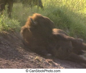 Bison IUCN Red List - Bison scratching wallows on side....
