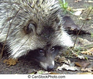 Wild Raccoon. Pretty gray animal live in forest.