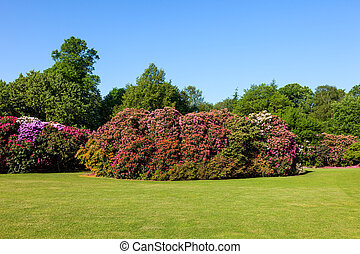 Rhododendron Bushes in Sunny Garden - Colorful Rhododendron...
