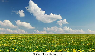 A field of dandelions - Blowball field, summertime,time...