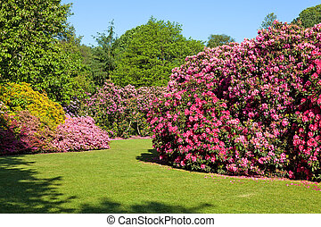 Rhododendron Bushes in Summer Garden - Rhododendron and...