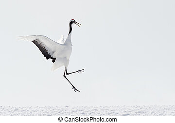 Red-crowned Crane playing and jumping