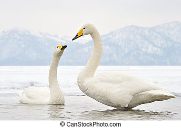 Two Whooper Swans at courtship