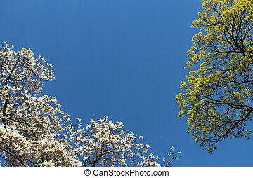 Magnolia and other tree against blue sky