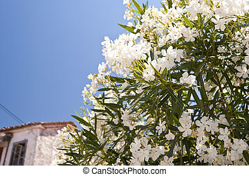 Oleander on Samos