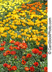 flowerbed  - with multicolor gazania flowers