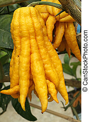 fragrant Buddhas hand - called also fingered citron fruit,...