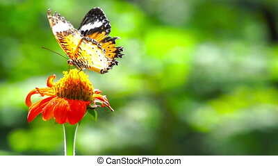 butterfly - Leopard Lacewing - Looping side profile video of...